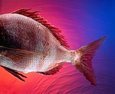 Tail of a Black Sea Bass