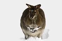 Schnee_Wallaby