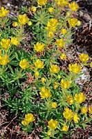 Fettenhennen saxifrage, Saxifraga aizoides