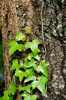 Green ivy climbing up the bark of a pine