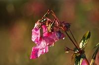 Germany, Bavaria, Himalayan balsam, close up