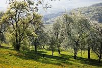 Austria, Lower Austria, Waldviertel, Mostviertel, Neuhofen an der Ybbs, Blossoming pear trees