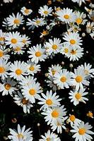 Close_up of daisies