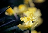 Close_up of daffodils