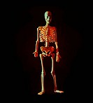 Human skeleton standing