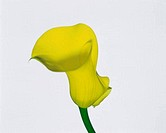 Close_up of a calla lily flower