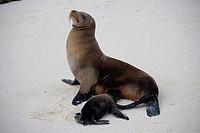 High angle view of a Galapagos Sea Lion Zalophus wollebaeki feeding its pup, Galapagos islands, Ecuador