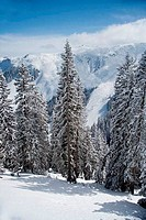 Trees covered with snow, Kitzbuhel, Tyrol, Austria