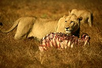 African wildlife, lion, lioness with kill in Zambia