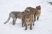 Three young cheetahs in snow