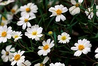 USA, Texas, Austin, National Wildflower Research Center, Close_up of Black_Foot Daisies