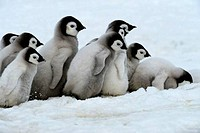 ANTARCTICA, WEDDELL SEA, SNOW HILL ISLAND, EMPEROR PENGUINS Aptenodytes forsteri, GROUP OF CHICKS WALKING ON ICE BETWEEN SATTELITE COLONIES