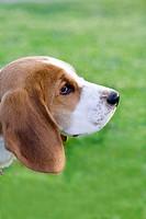 Beagle profile portrait