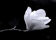 A black and white fine art portrait of the flower from a magnolia tree