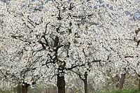 Germany, Bavaria, Franconia, Franconian Switzerland, View of sweet cherry tree blossoms