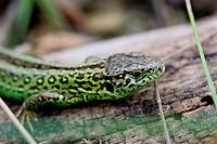 Fence lizard, male