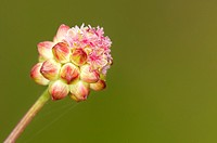 Sanguisorba minor (Salad burnet, Garden burnet, Small burnet, burnet), Greece