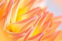 Pastellfarbene Dahlie mit Tautropfen