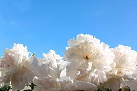 White peonies on the background of the sky
