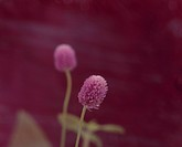 Pink globe amaranths