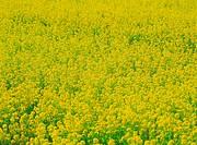 Rapeseed field in bloom stage