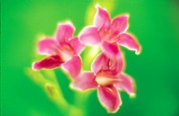 Close up of pink flowers, green background, soft focus