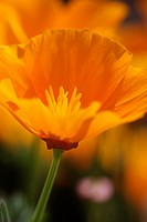 Closeup of single yellow Californian poppy, showing petals, central stamen and pistils, selective focus with others in background