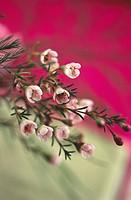Flowering rosemary