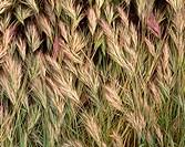 Closeup of wild grass detail, Tonto National Forest, southeast Arizona, USA