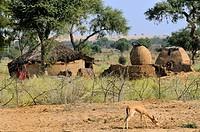 India, Rajasthan, Wild Chinkara Indian gazelle roaming freely near a Bishnoi village