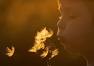 Common Dandelion Taraxacum officinale seedhead, seeds from clock being blown by boy, Norfolk, England, may