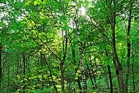 mixed forest near village of ascona - canton of ticino - switzerland