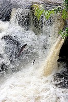 Two Atlantic Salmon leaping the Gartness Falls on the River Endrick.