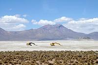 Digger, Bagger, Salar de Surire, salt lake, Salzsee, Reserva Nacional de las Vicunas, Lauca National park, Nationalpark, Norte Grande, northern Chile,...