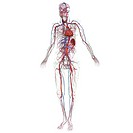 Whole body arteries and veins Anterolateral view