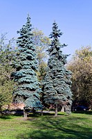 two blue spruce in autumn park