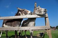 Donkeys on Norfolk Farm in summer