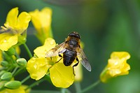 Hoverfly resting on brassicas flower.