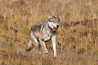 Wolf Canis lupus, on fall tundra, Denali National Park, Alaska, United States of America