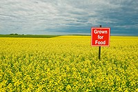Bloom stage canola field being grown for food, Dugald, Manitoba, Canada