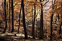 Germany, Rhineland_Palatinate, North Vosges, View of european beech trees in palatinate forest