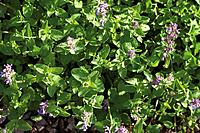 Germany, Close up of catmint plant