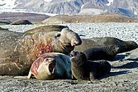 Southern elephant seal Mirounga leonina mating behavior on South Georgia Island in the Southern Ocean  MORE INFO The southern elephant seal is not onl...
