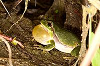 France , Bas-Rhin, European Tree Frog  Hyla arborea , Order: : Anura , Family: : Hylidae , mating season.