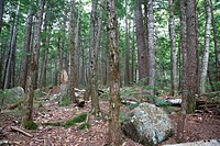 Hemlock Forest during the summer months in Albany, New Hampshire USA