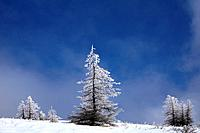 Frost covered larch trees in winter, Utsukushigahara, Nagano Prefecture, Japan