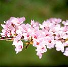 Cherry flowers on branch, close up