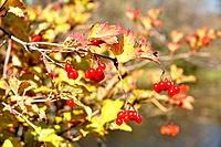 Red Berries on a Shrub in the Fall