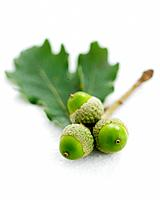 Studio shot of oak leaves and acorns