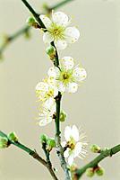 Plum blossoms, Tochigi Prefecture, Japan